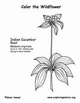 Cucumber Coloring Indian sketch template