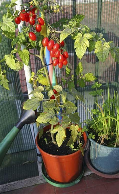 plant de tomate en pot balkonpflanzen balkon gestalten gardening