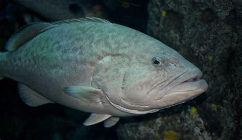 grouper gag fishing nearshore structure near