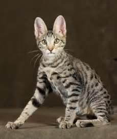 savanna cat f5 cat by amanukats stunning