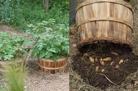 coltivare patate in vaso coltivazione patate orto come coltivare le patate