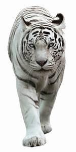 White Tiger by LOVEMAYU on DeviantArt