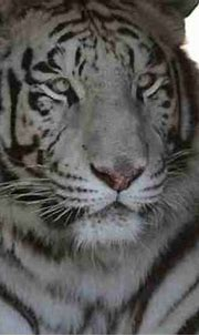 White Tiger Lives Her Best Life Since Getting Saved From ...