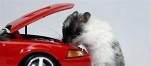 Répulsif Rongeur Voiture : prise anti souris top with prise anti souris finest chasserat et souris ultrason seulement ~ Medecine-chirurgie-esthetiques.com Avis de Voitures