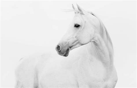 Arabian Horse Wallpaper Mural