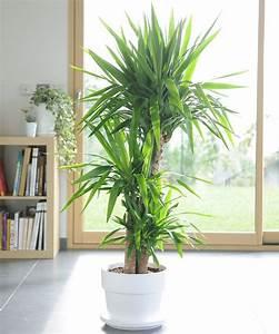 Grande Plante D Intérieur Facile D Entretien : les 25 meilleures id es concernant yucca sur pinterest ~ Premium-room.com Idées de Décoration