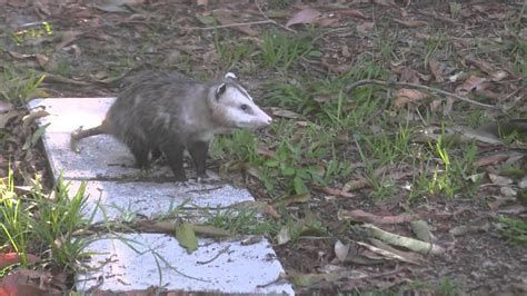 Possum Backyard by Possums Mating In South Florida Back Yard