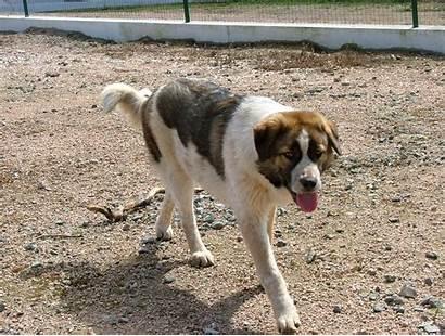 Alentejo Rafeiro Mastiff Dog Flickr Portuguese Breeds