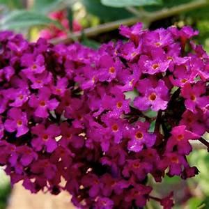 Arbuste Plein Soleil Longue Floraison : arbuste fleurs roses liste ooreka ~ Premium-room.com Idées de Décoration