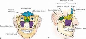 Sinuses Anatomy Of The Head