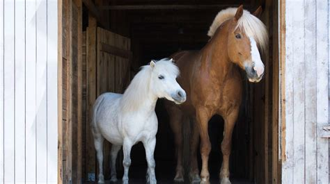 horses ponies difference pony between horse vs isn only mentalfloss