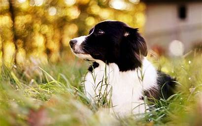 Collie Border Wallpapers
