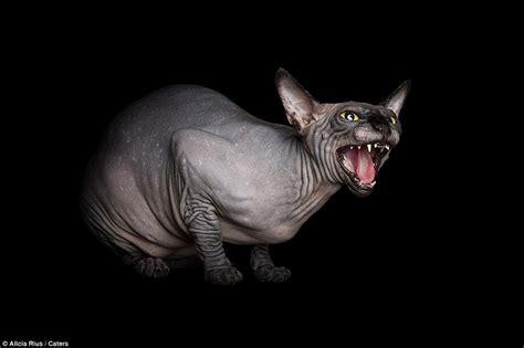 photographer captures unique beauty  furless sphynx cats