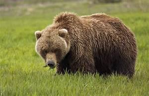 An Alaska Coastal Brown Bear At Mikfik Photograph by