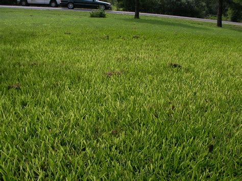 Yellowing St. Augustine Grass