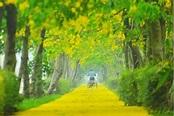 嘉義出現黃金隧道!蒜頭阿勃勒自行車道美呆了 - MOOK景點家 - 墨刻出版 華文最大旅遊資訊平台