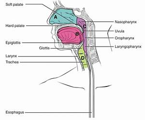 The Pharynx Runs From The Nostrils To The Esophagus And