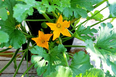 How To Grow Squash And Zucchini Vertically-greenstalk