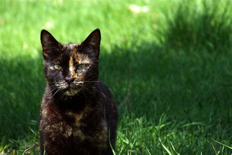 calico female cats tortoiseshell why