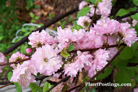 flowering almond plantpostings plant of the month dwarf flowering almond
