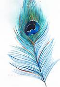 Colorful Real Peacock Feathers