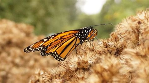 are milkweed and monarchs making a comeback sas