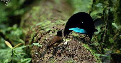 Bird Oiseau Vogelkop Paradis Paradise Superb Mating