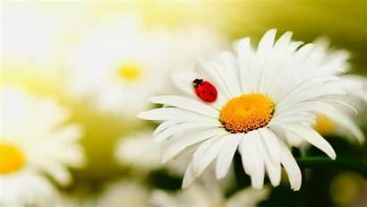 Daisy Desktop Wallpapers Flower Backgrounds Margarita Mariquita