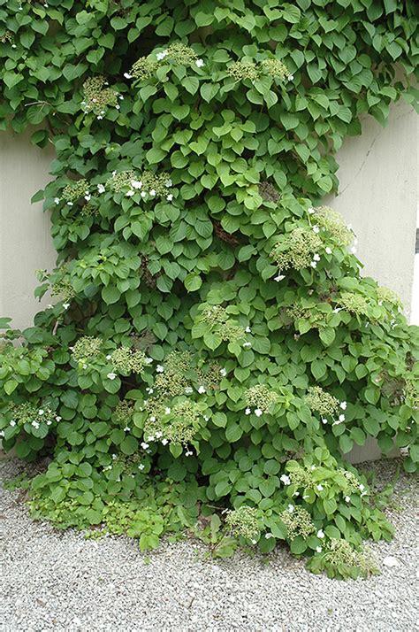 Climbing Hydrangea (hydrangea Anomala 'var Petiolaris