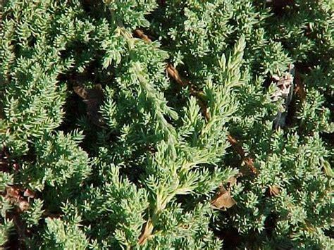 juniperus procumbens green mound hess landscape