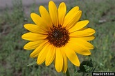 common sunflower, Helianthus annuus (Asterales: Asteraceae ...