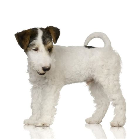 difference   rat terrier fox terrier dog care