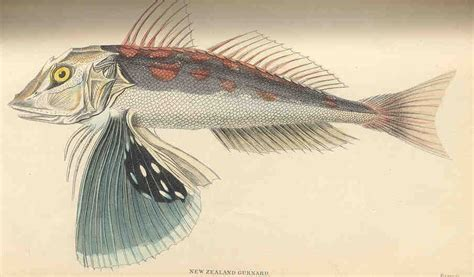 bluefin gurnard wikipedia