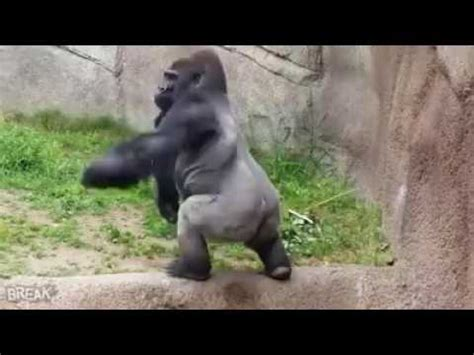 gorilla throws poo  watchers  zoo funny youtube