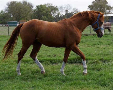 thoroughbred chestnut stallion count usa sabino stud stallions brief classifieds