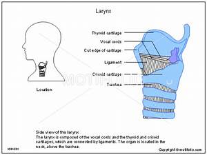 Larynx Illustrations