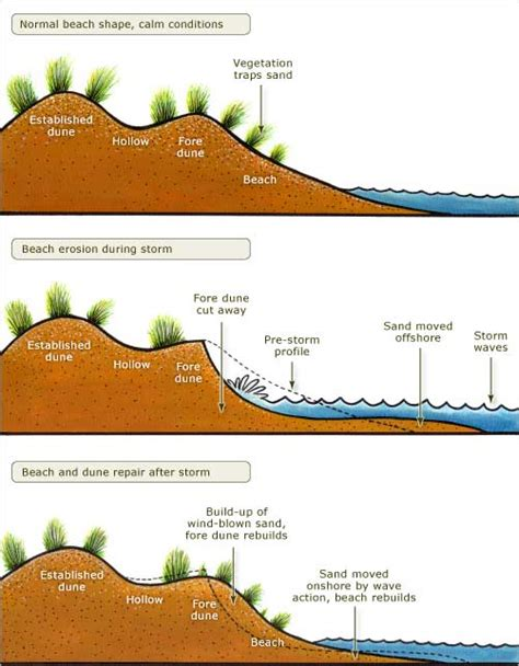 fore dune formation and erosion coastal shoreline te