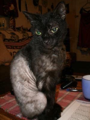 cat flea allergy dermatitis treatment