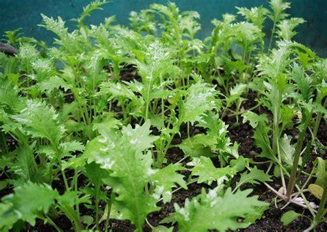 Asia Garten Pflanzen by Asia Salate Anbauen 187 Aussaat Pflege Im Garten Majas