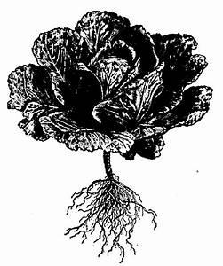 Chou Coeur De Boeuf : jardin chou potager ~ Dailycaller-alerts.com Idées de Décoration