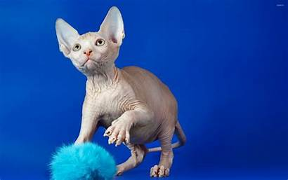 Sphynx Cat Kucing Wallpapers Ciri Fisik Animals