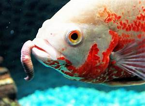 Benefits of Feeding Live Foods to Your Fish