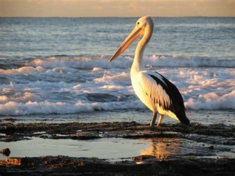 le de poche pelican p 233 lican totems scouts be