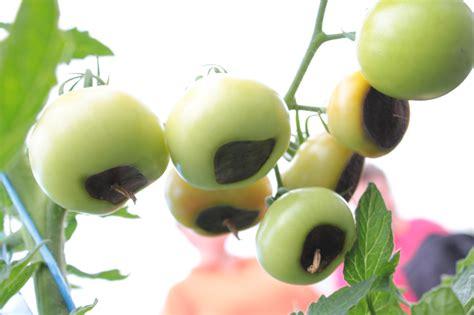 naehrstoffungleichgewicht und umwelteinwirkung bei tomaten
