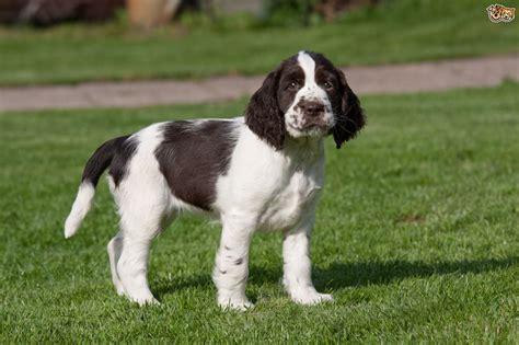 English Springer Spaniel Dog Breed Information, Buying