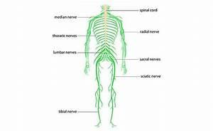 Diagram Of Sciatic Nerve Pathway
