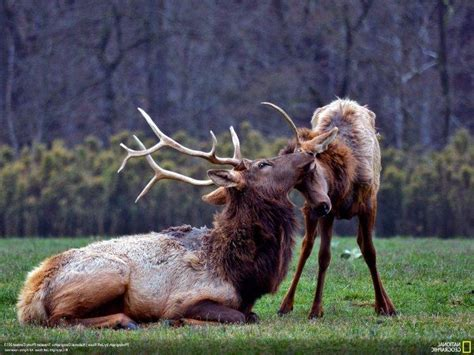 National Geographic Animal Hd Wallpapers - animals national geographic elk baby animals wallpapers