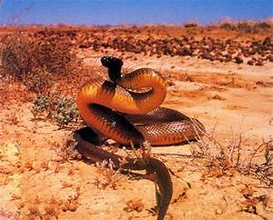 Most Expensive: World's most Venomous Snake