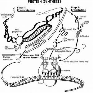1000  Images About Bio Unit Dna Mitosis Protein Synthesis