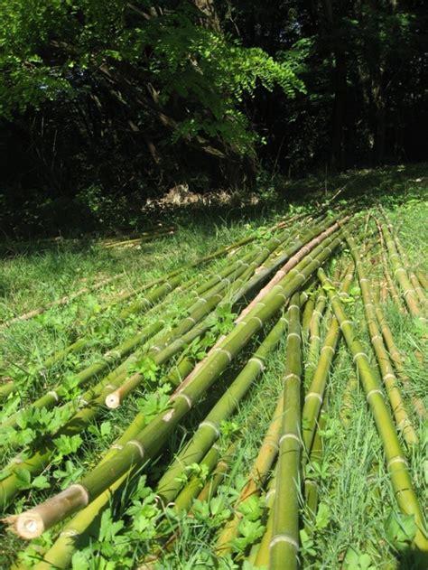 cuisiner les pousses de bambou n achetez pas des bambous importés prenez les chez moi